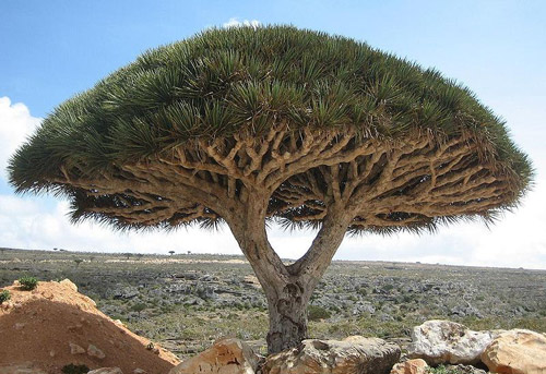 dragon blood tree pic 1