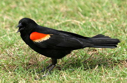 red-winged-blackbir_681484c
